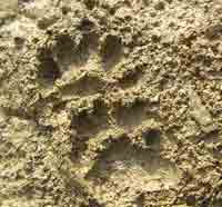 Badger Tracks in sand